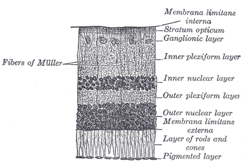 An illustrated section of a retina.