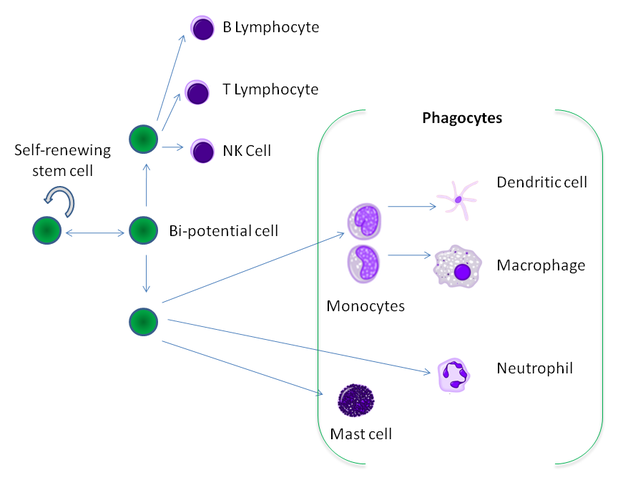 The hematopoietic origin of phagocytes from stem cells in the bone marrow.